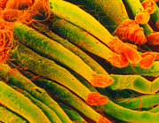 Process Posters - Coloured Sem Of Rod Cells Of The Retina Of The Eye Poster by Steve Gschmeissner