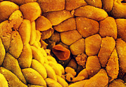 Mucosa Posters - Coloured Sem Of The Stomach Mucosa & Gastric Pit Poster by Prof Cinti & V. Gremetspl