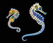 Seahorse Metal Prints - Coloured X-ray Of Two Seahorses, Hippocampus Sp. Metal Print by D. Roberts