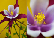 Diptych Photos - Colourful Colombine by Lisa Knechtel