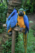 Blue And Yellow Macaw Prints - Colourful Macaw Pohakumoa Maui Hawaii Print by Sharon Mau