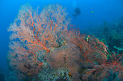 New Britain Framed Prints - Colourful Sea Fan Seascape, Papua New Framed Print by Steve Jones