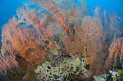 New Britain Island Posters - Colourful Sea Fan With Crinoid, Papua Poster by Steve Jones