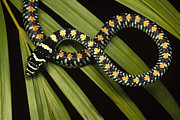 Animalsandearth Photos - Colubrid Snake Boiga Sp A Flying Snake by Mark Moffett