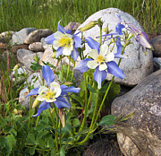 Colorado Mountain Greeting Cards Prints - Columbine Colorado State Flower Print by James Steele