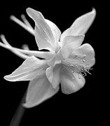 Columbine Photos - Columbine Flower Macro Black and White by Jennie Marie Schell