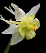 Columbine Photos - Columbine Flower Macro by Jennie Marie Schell