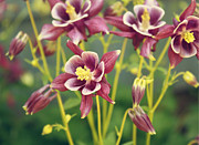 Purple Flowers Digital Art - Columbine Flowers by Cathie Tyler