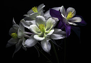 Columbine Flowers Print by Flower photography by Viorica Maghetiu