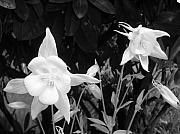 Columbine Photos - Columbine by Heather L Giltner