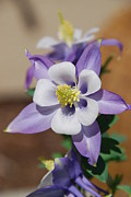 Flower Blooming Originals - Columbine in Cali by Nancy Lowrie