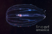 Nekton Art - Comb Jelly by Dante Fenolio