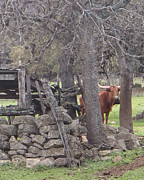 Long Horn Cow Photos - Come find Me by Kathleen Peltomaa Lewis