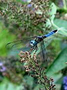 Dragonfly Photos - Come Fly With Me by Julian Bralley