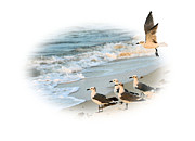 Tern Metal Prints - Coming In for a Landing Metal Print by Kristin Elmquist