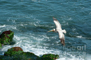 Sea Birds Posters - Coming In Poster by Sandra Bronstein