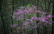 Red Bud Trees Prints - Coming Out Print by JC Findley