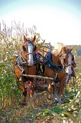 Belgian Draft Horse Photos - Coming Through the Corn by Valerie Kirkwood