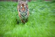 Bigcat Framed Prints - Coming to get you Framed Print by Keith Kapple