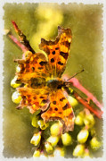 Bambers Prints - Comma Butterfly Print by Clare Bambers