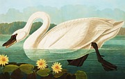 Bird Prints Paintings - Common American Swan by John James Audubon