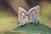 Patterned Marking Framed Prints - Common Blue Butterflies Mating Framed Print by Colin Varndell