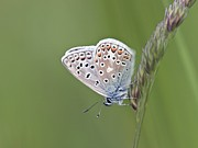 Patterned Marking Framed Prints - Common Blue Butterfly Framed Print by Adrian Bicker