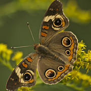 Wildlife Insect Posters - Common Buckeye Butterfly 3021 Poster by Michael Peychich