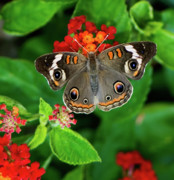 Buckeye Framed Prints - Common Buckeye Butterfly Framed Print by Betty LaRue