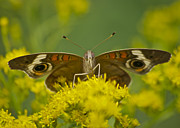 Wildlife Insect Posters - Common Buckeye Butterfly3043 Poster by Michael Peychich