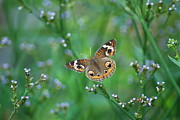 Orange And Brown Wings Metal Prints - Common Buckeye Metal Print by Kathy Gibbons