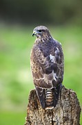 Gloucestershire Prints - Common Buzzard Print by Colin Varndell