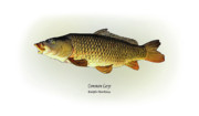 Gamefish Framed Prints - Common Carp Framed Print by Ralph Martens