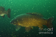 United States Wildlife Framed Prints - Common Carp Framed Print by Ted Kinsman
