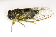 Cicada Prints - Common Cicada Print by Ted Kinsman