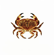 Pincers Posters - Common Crab Poster by Kevin Curtis