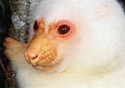 Animalsandearth Photos - Common Cuscus Phalanger Orientalis by Mark Moffett