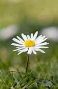 Bellis Framed Prints - Common Daisy (bellis Perennis) Framed Print by Duncan Shaw