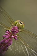 Biting Prints - Common Darter Dragonfly Print by Andy Astbury