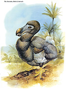 Extinct Bird Prints - Common Dodo Print by Photo Researchers