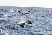 Common Dolphin Delphinus Delphis Pod Print by Rich Reid