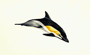 Sea Life Art Prints - Common Dolphin Print by Michael Vigliotti