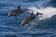 Dolphin Posters - Common Dolphin Pair Jumping Baja Poster by Suzi Eszterhas