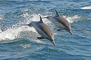 Two Animals Photos - Common Dolphins Leaping by Tim Melling
