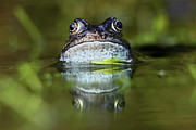Pond Art - Common Frog In Pond by Iain Lawrie