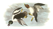 Ducks Paintings - Common Goldeneye by John James Audubon