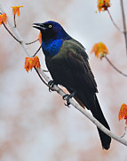 Passerine Framed Prints - Common Grackle Framed Print by Tony Beck