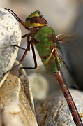 Cobble Stones Posters - Common Green Darner Dragonfly Poster by Juergen Roth