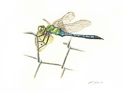 Watercolor  Drawings Posters - Common Green Darner Poster by Logan Parsons