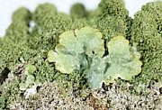 Common Greenshield Lichen Print by Ted Kinsman
